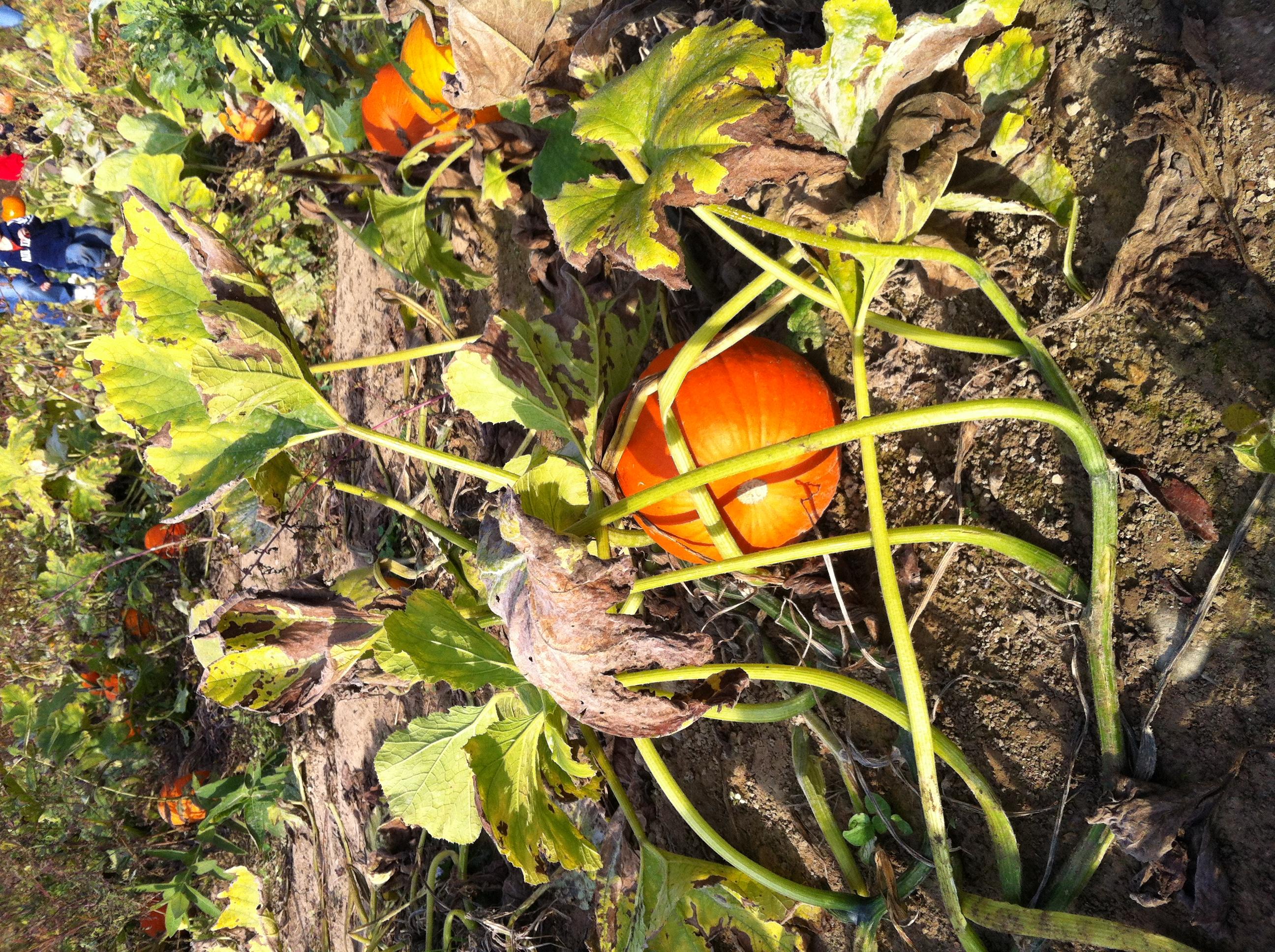 Pumpkins a Plenty
